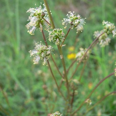 Sanguisorba_minor_k.jpg