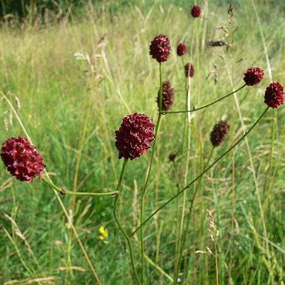 Sanguisorba_officinalis_k.jpg